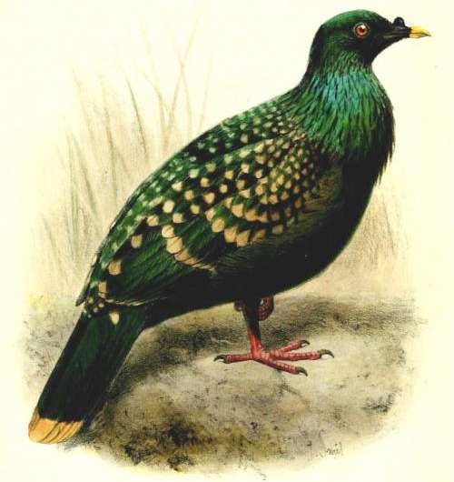 Dodos and spotted green pigeons are descendants of an island hopping bird