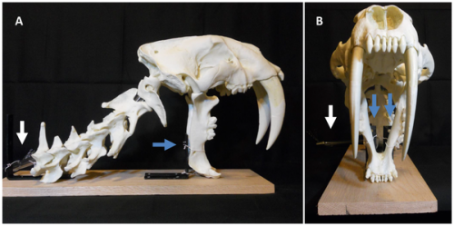 Researcher propose new theory to describe how saber-toothed cats downed their prey