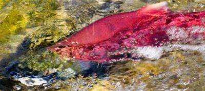 Salmon forced to 'sprint' less likely to survive migration