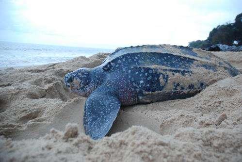 Satellite tracking identifies Atlantic Ocean risk zones for leatherback turtles