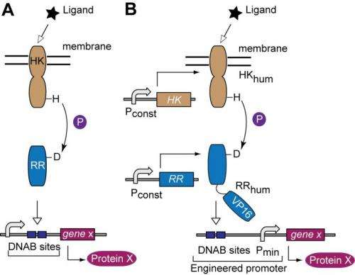 Schematics of native and transplanted two-component signaling pathways.