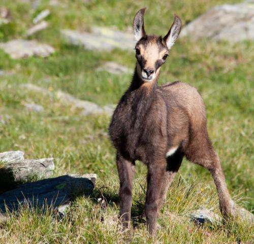 'Shrinking goats' another indicator that climate change affects animal size