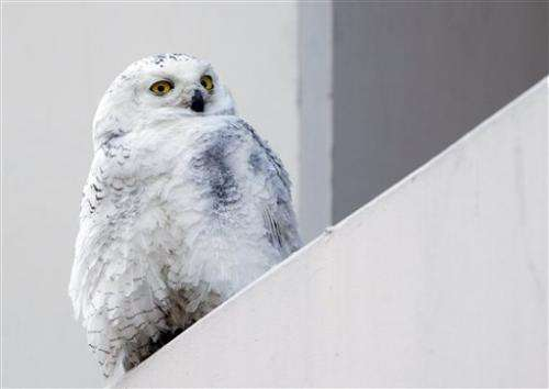 Snowy owls invade US 'south' as cold has effect