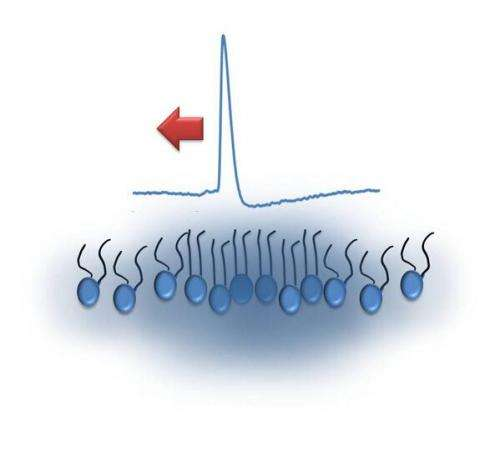 Solitary acoustic waves observed to propagate at a lipid membrane interface