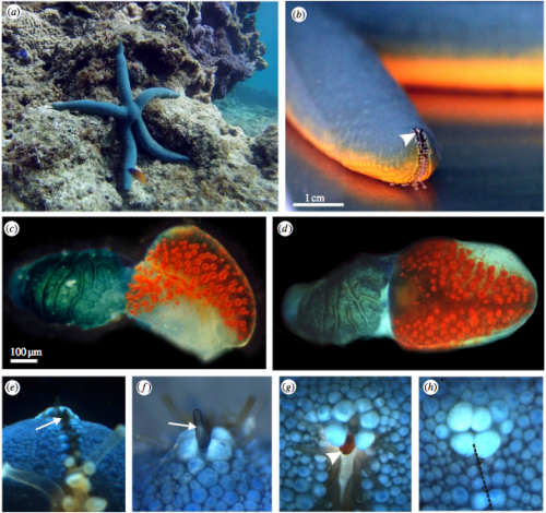 Starfish use their eyes to stay close to home