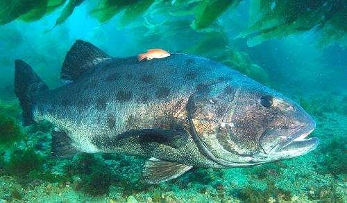 Giant sea bass census