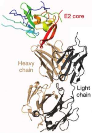 Structure of hepatitis C virus envelope protein an early step toward vaccine, therapies
