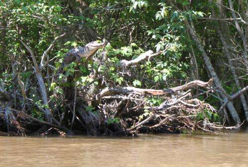 Study finds crocodile tree-climbing and -basking behavior.