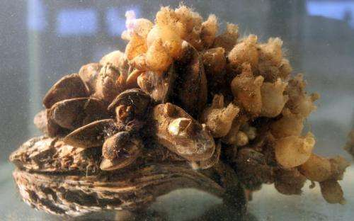 Study puts some mussels into Bay restoration