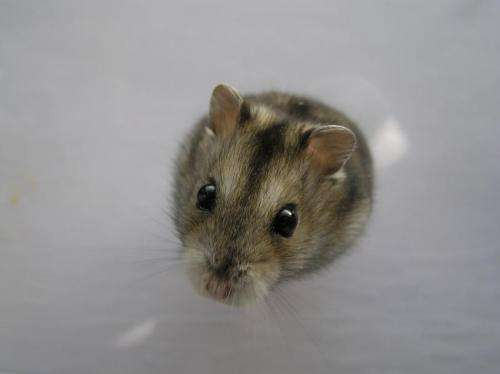 Summertime cholesterol consumption key for wintertime survival for Siberian hamsters