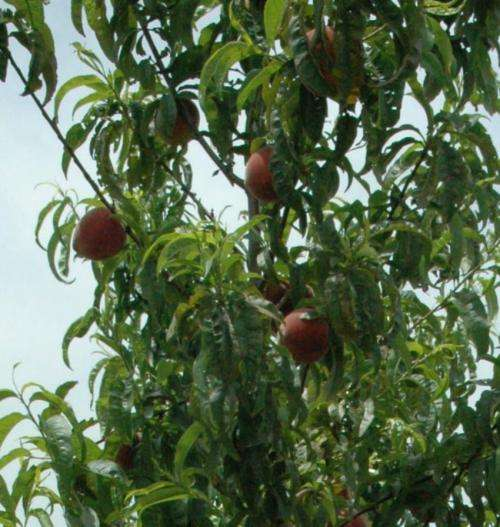Texas researcher: Peaches inhibit breast cancer metastasis in mice