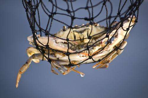The crab-castrating parasite that zombifies its prey