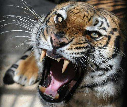The wild tiger population has declined to just 3,200 in 2010 from 100,000 a century ago, according to wildlife conservationists
