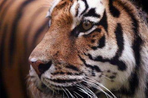 The world's wild tiger population fell to just over 3,200 in 2010