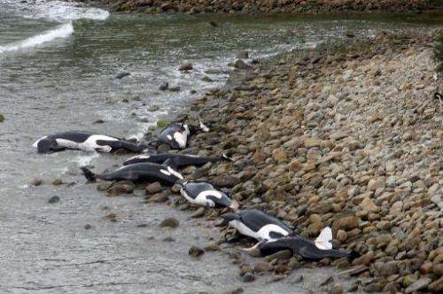 This photo, released by the Department of Conservation New Zealand, shows a pod of beached killer whales at the remote Blue Clif