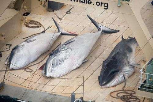 Three dead minke whales on the deck of the Japanese factory ship Nisshin Maru, on January 5, 2013