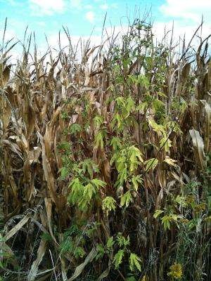 Understanding plant-soil interaction could lead to new ways to combat weeds