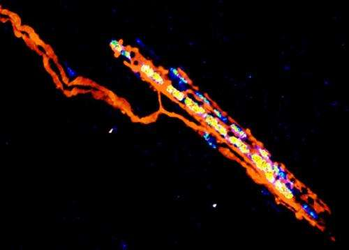 Trigger mechanism for recovery after spinal cord injury revealed