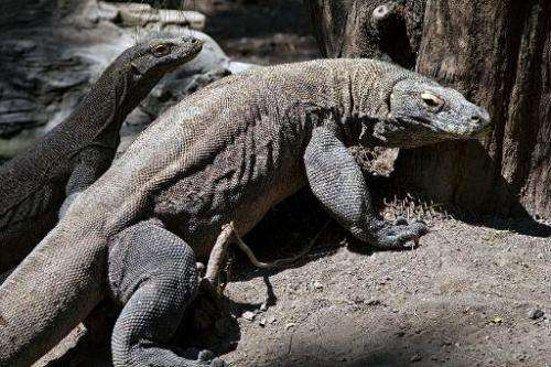 Two Komodo dragons pictured in an enclosure at the Surabaya zoo in Surabaya, on Indonesia's main Java island, on June 2, 2014