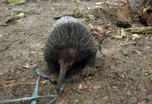 Undated Department of Environment and Natural Resources handout photo released on February 16, 2014 shows an echidna, one of the