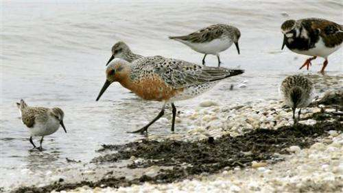 US names red knot bird a threatened species