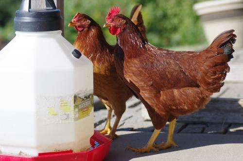 Veterinary pharmacologist warns that eggs from backyard chickens pose potential consumption problems