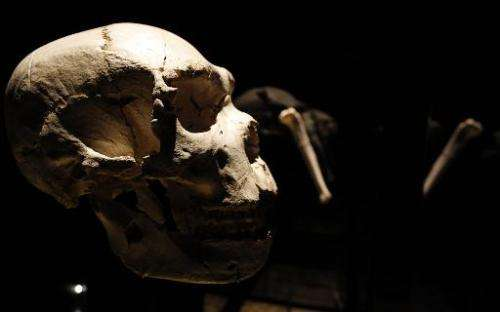 View of a skull of an adult Homo heidelbergensis, found in Sima de los Huesos, near Burgos in 1992, on display at the Museum of