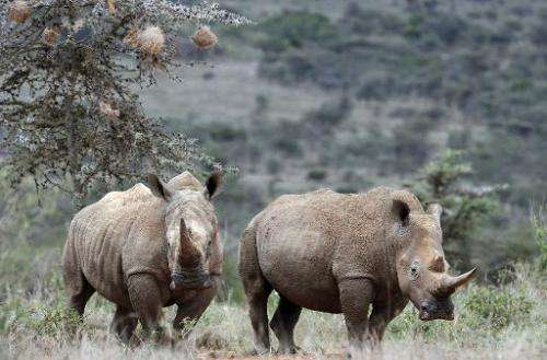White-Rhinos are seen on August 7, 2014 at the Ol Jogi rhino sanctuary in Laikipia, Kenya
