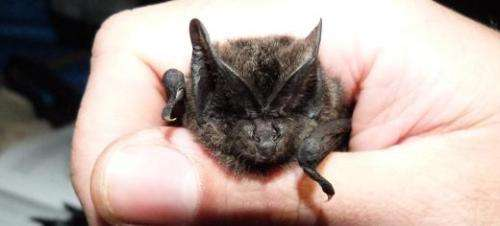 Woodland bat species sweats it out in the tropics