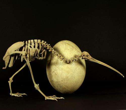 Ancient DNA ends Aussie claim to kiwi origins