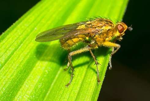 Yo-yo weight fluctuation has little influence on the health of fruit flies