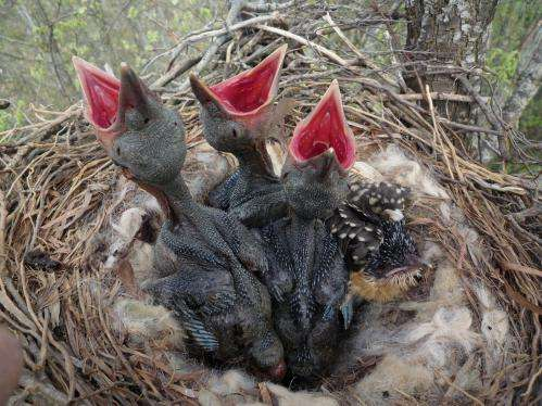 Study shows some cuckoo birds may actually help their hosts