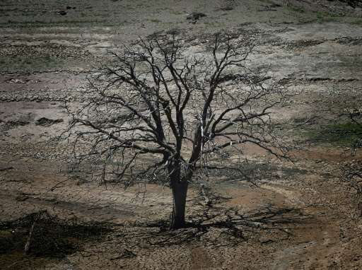 A dead tree is seen on a dried section of the New Melones reservoir which is now at less than 20 percent capacity as a severe dr