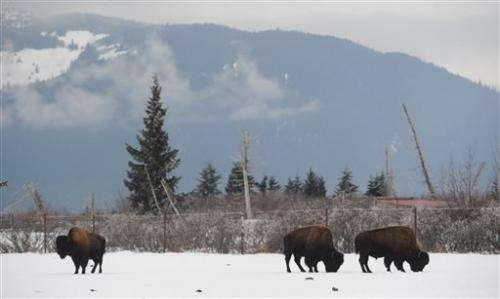 Alaska prepares for wood bison return after a century