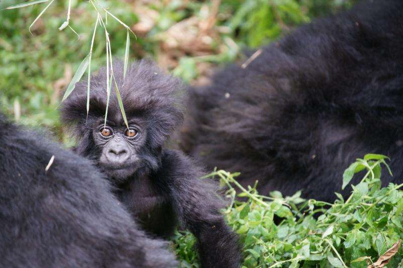 Apes under pressure show their ingenuity – and hint at our own evolutionary past