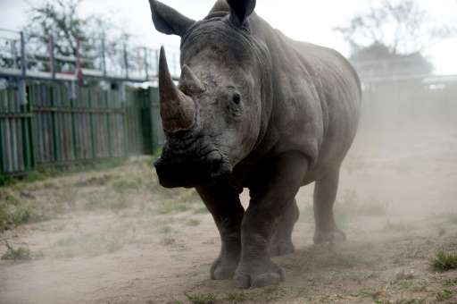 A rhino looks through the bars of a holding pen at the Kruger National Park on March 2, 2015