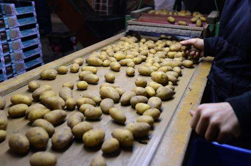 A worker sorts potatoes before packaging them at the Salty Potato Farm in Den Horn, in the Netherlands