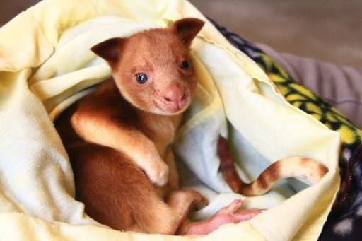 A Zoos South Australia photo of a baby Goodfellow's tree kangaroo known as a joey on a blanket at Adelaide Zoo