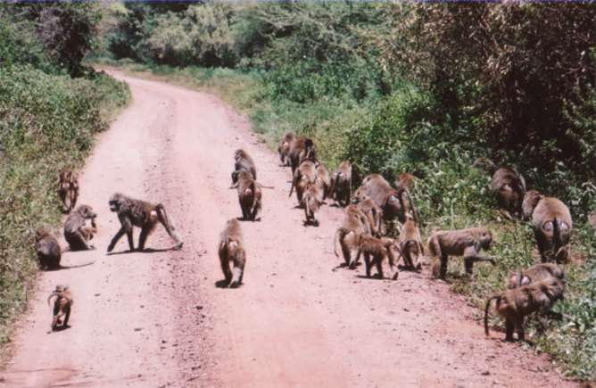 Baboons don't play follow the leader – they're democratic travellers