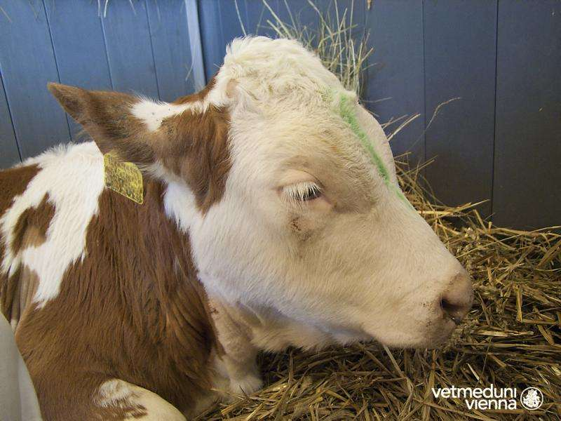 Bacteria play only a minor role stomach ulcers in cattle