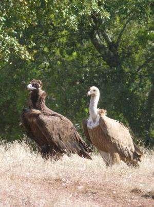 Black vultures return to southern Portugal