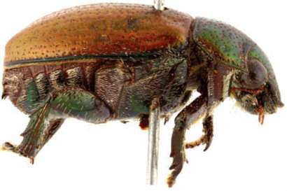 Brazilian scarab beetles found to be termitophiles