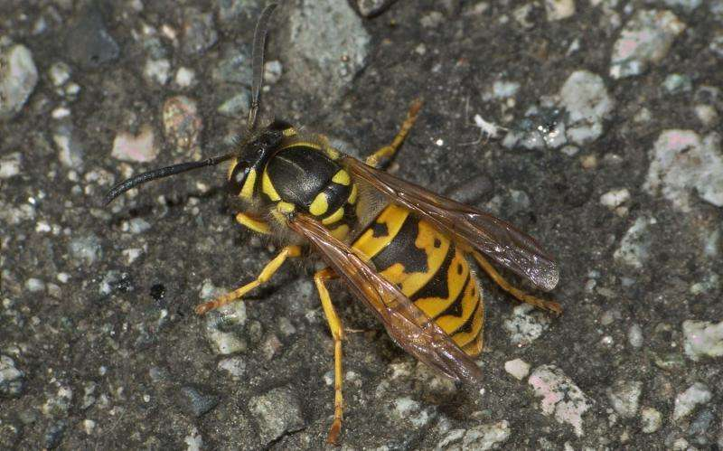Call for arms and stings: Social wasps use alarm pheromones to coordinate their attacks