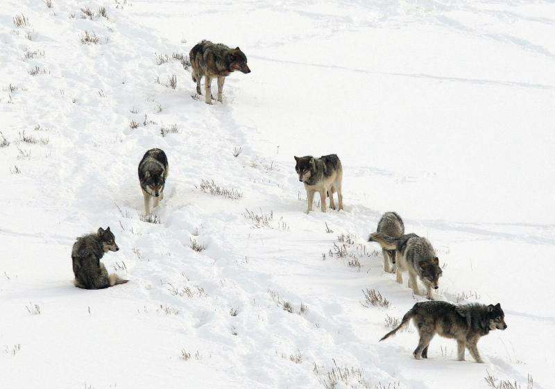 Chronic illness causes less harm when carnivores cooperate