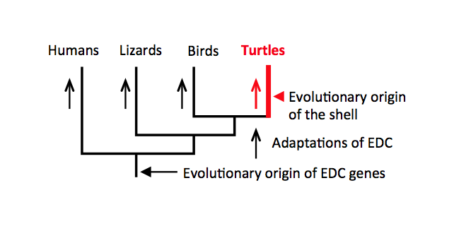 Coming out of their evolutionary shells