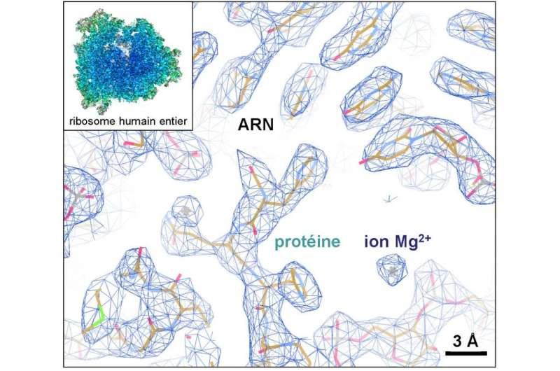 Detailed structure of human ribosome revealed