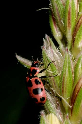 Diverse insect population means fewer pests in cornfields