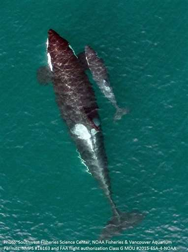 Drone captures photos of endangered baby orca, mom