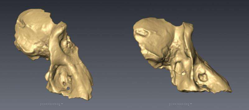 Earliest baboon found at Malapa