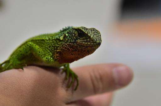 Ecuadorean scientist Omar Torres Carvajal shows a specimen of one of the three newly-discovered species of lizard
